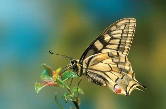 Swallowtail butterfl