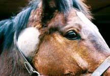 bastard strangles in horses