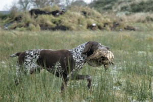 Springer (Glamis shoot) for gundog