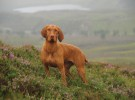 Wirehaired Hungarian vizsla in heather