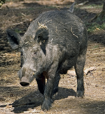 wild boar in wood.jpg