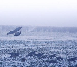 pigeons over a field in winter.jpg