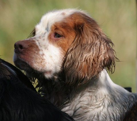 Working spaniel large
