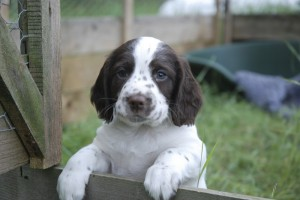 Buying a gun dog puppy