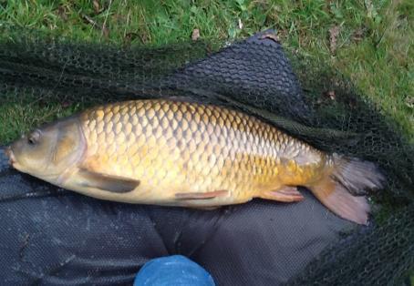 Common carp: Common carp off floating bread
